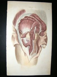Anatomy Print 1826 Male Side Profile, Folio Hand Col.